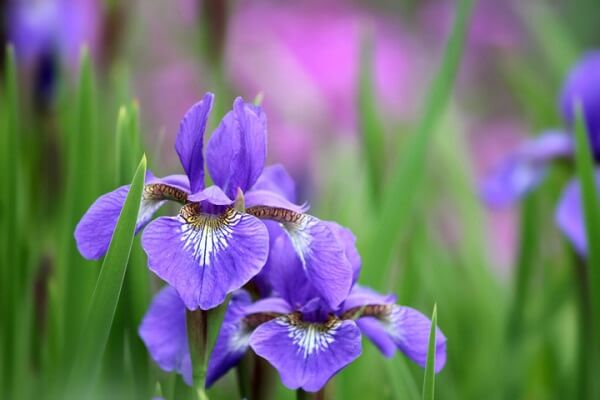 Hình ảnh loài hoa Diên Vĩ