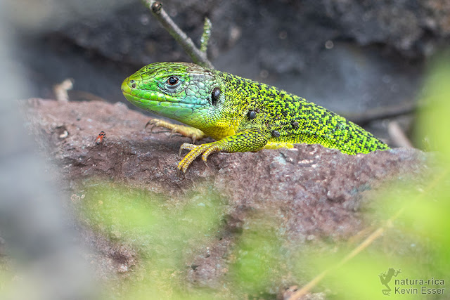 Lacerta bilineata - Western Green Lizard