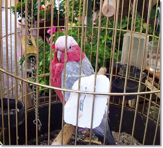 Chania un pappagallo nella città vecchia