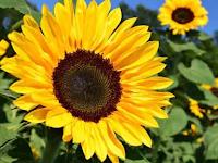 Tips Menanam Bunga Matahari yang Benar dan Tepat