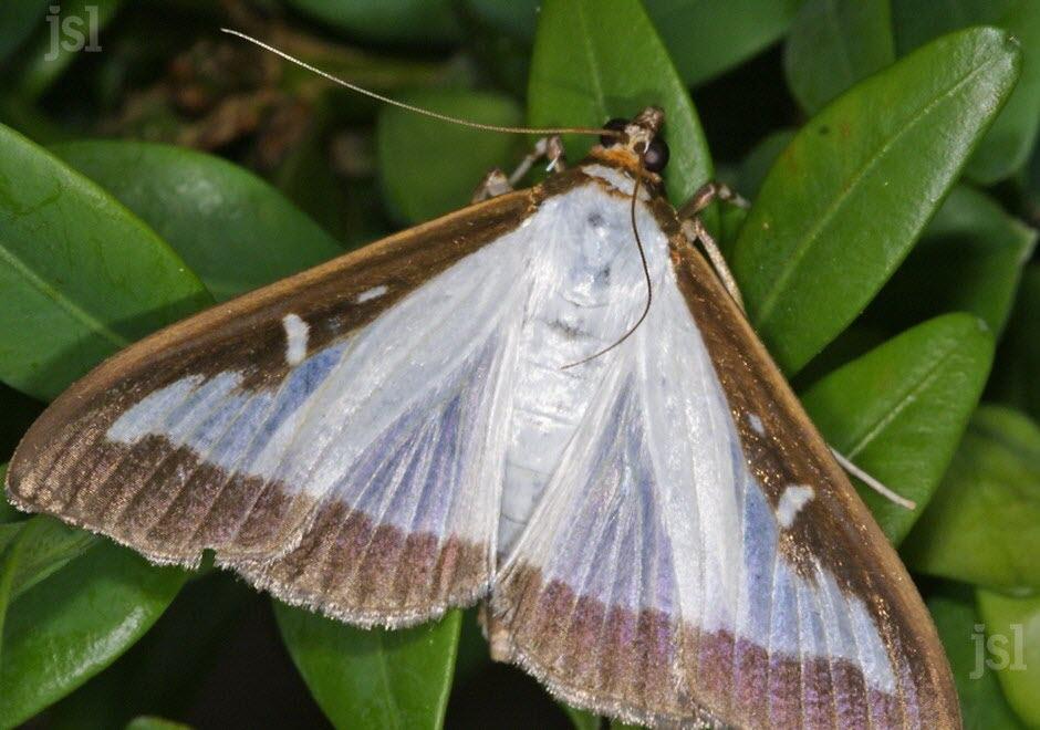 Le petit clansois invasion du papillon asiatique clans lutter contre la pyrale du buis - Invasion papillon de nuit ...