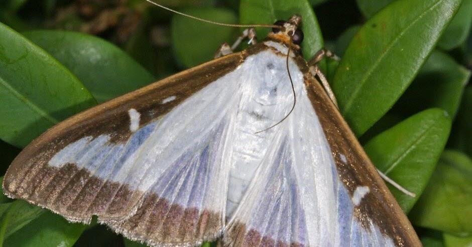 Le petit clansois invasion du papillon asiatique clans lutter contre la pyrale du buis - Lutter contre la pyrale du buis ...