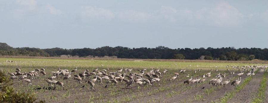 Concentración de Grullas Grus canadensis o Sandhill Cranes