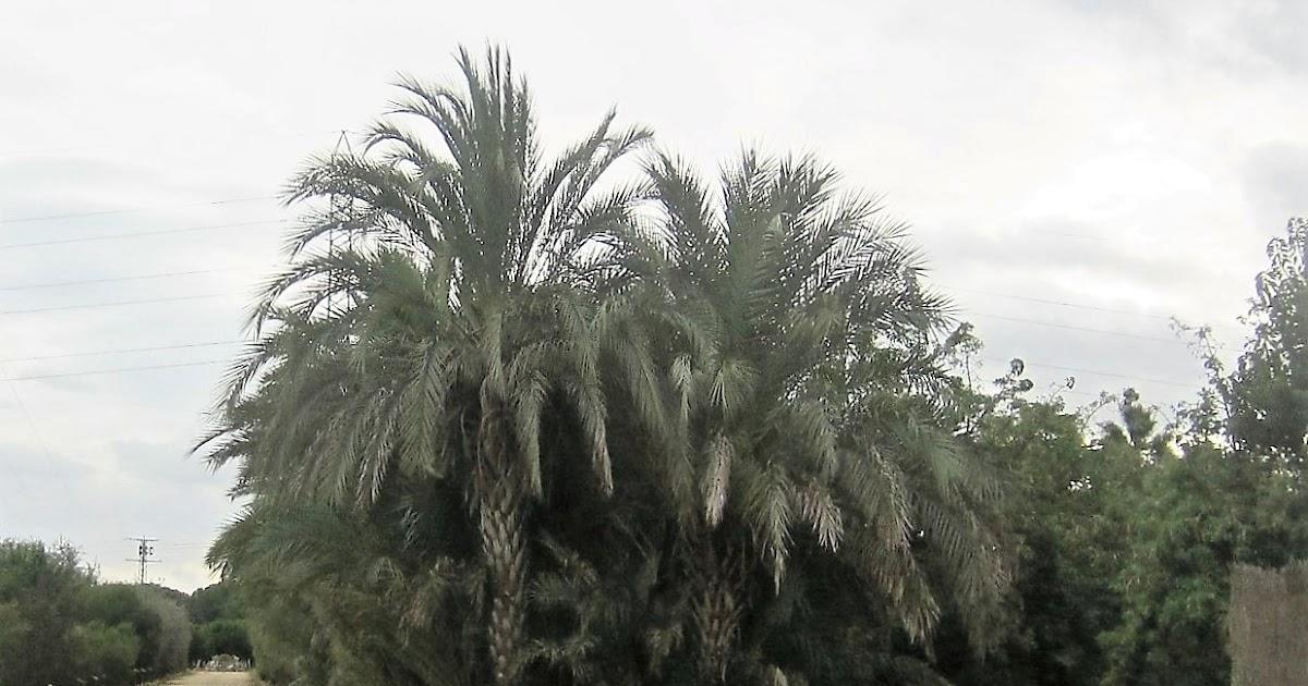 Parquealamillo encinarosa phoenix canariensis palmera for Viveros canarias
