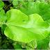 SPONDILOZA CERVICALĂ se vindecă total cu frunza de brusture