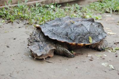 Mata Mata | mata mata turtle