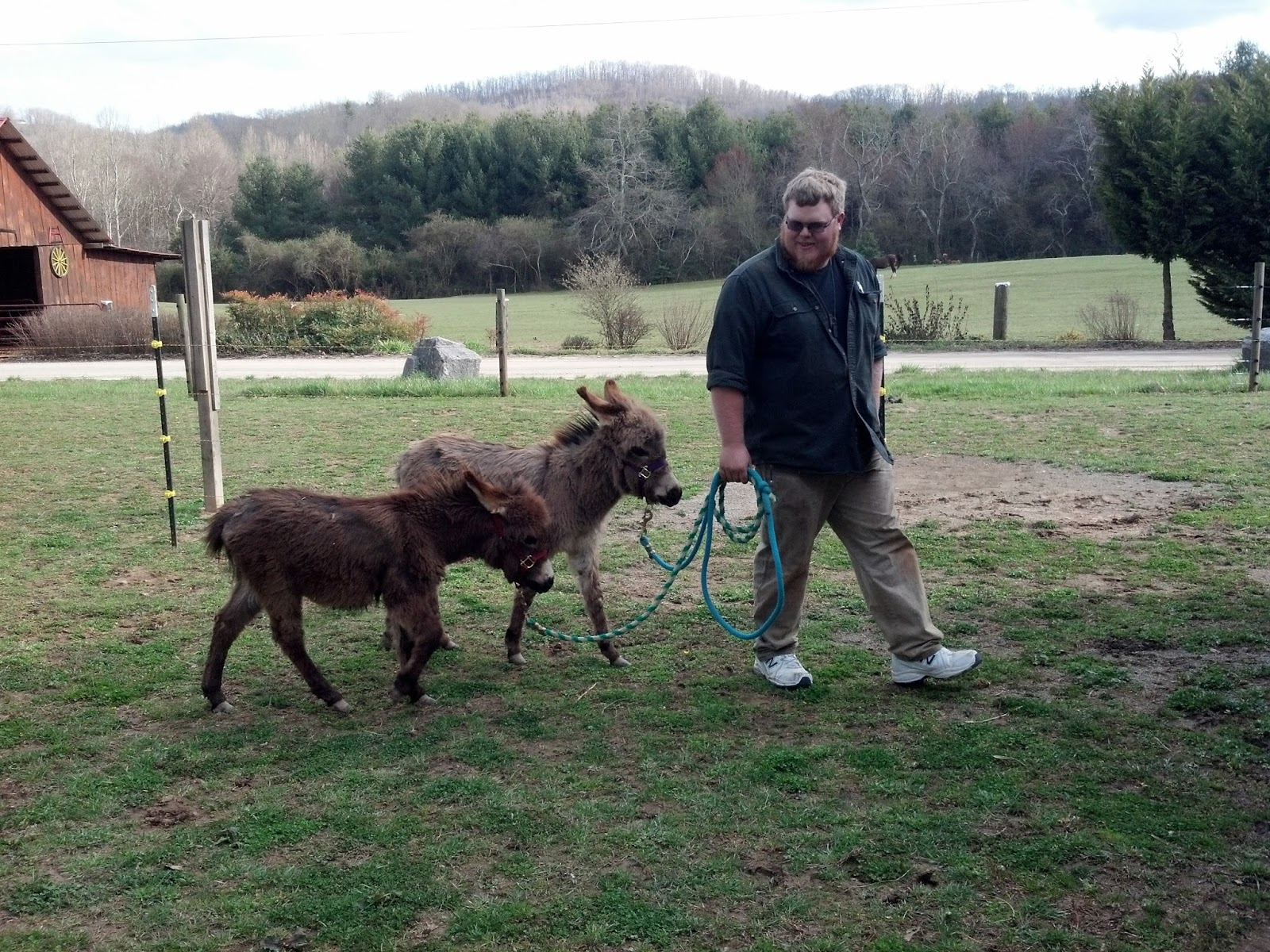 two six month old miniature donkeys on leads