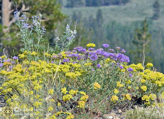 Sulpher Buckwheat, Silvery Lupine, Showy Milkweed