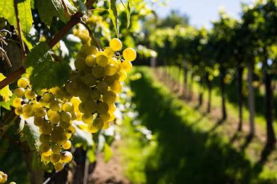 vignoble vignes blog vins vin beaux-vins