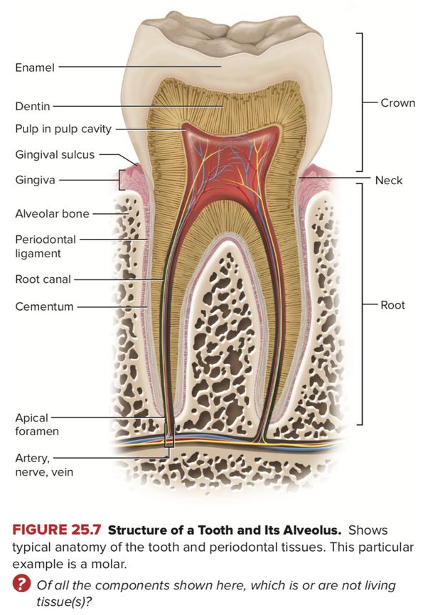 Dây thần kinh bên trong tuỷ răng