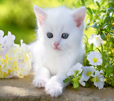 white-cat-with-resting-pose-socutyy