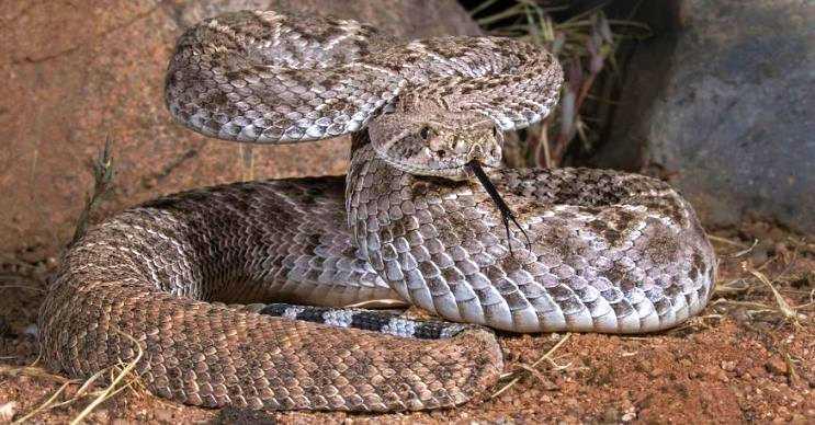 İri Güney Amerika yılanı aşırı öfkelidir, en ufak ters bir harekette saldırıya geçer.