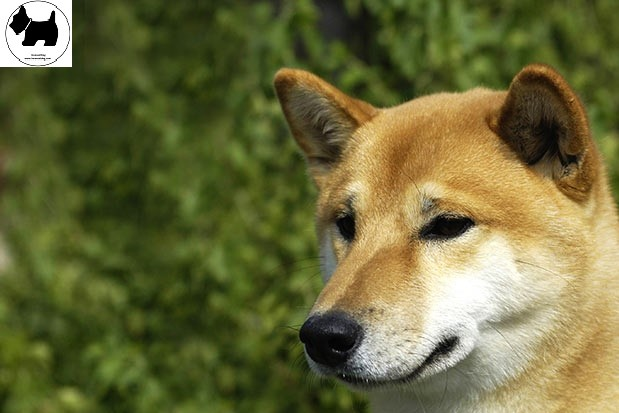 Cutest Dog Breeds, Best Dog, Shiba Inu Dog