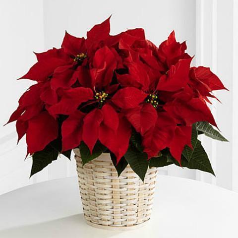 Το Αλεξανδρινο το φυτο τον Χριστουγέννων το αστερι της Βηθλεεμ
