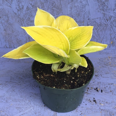 Saint Elmo's Fire Hosta