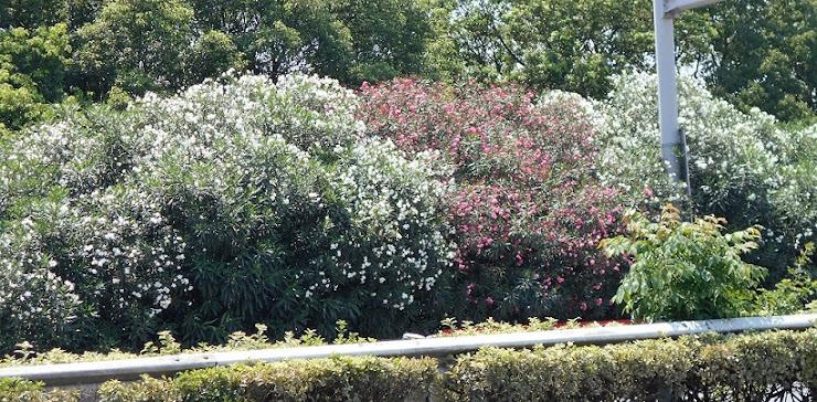 白と赤の夾竹桃