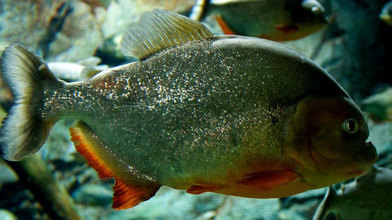 Freshwater fish beginning with r - Piranha Fish Pictures_serrasalmidae
