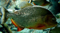 Piranha fish pictures_Serrasalmidae