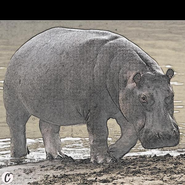 Hippopotamus 🦛