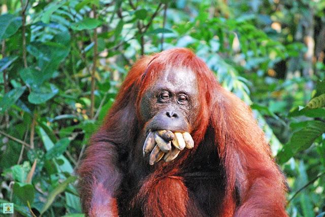 Orangután en Paruqe Nacional de Tanjung Puting, Indonesia