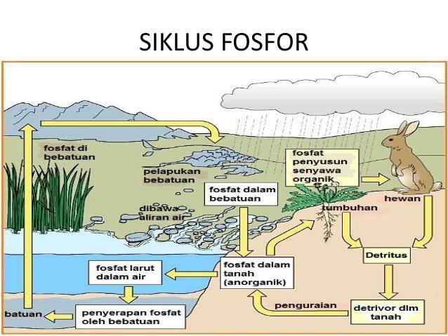 Rizkibio WEB Learning: Daur Fosfor