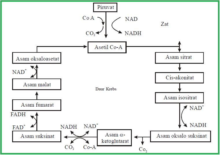 Proses Anabolisme dan Katabolisme Pada Makhluk Hidup