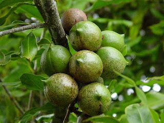 Macadamia Fruit Pictures