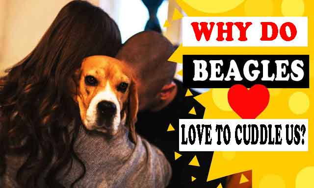 Why do beagles love to cuddle us?