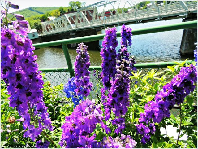 Larkspur o Espuela de Caballero en el Puente de las Flores de Shelburne Falls