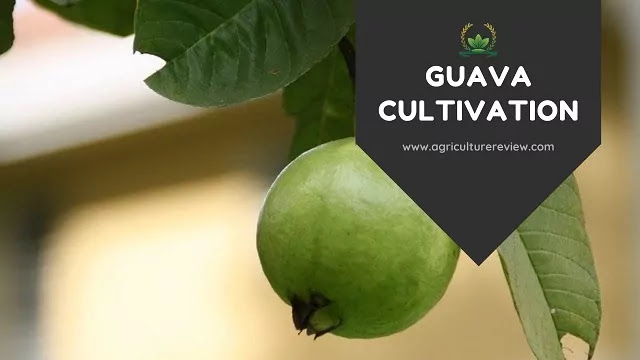 guava cultivation guide by agriculture review