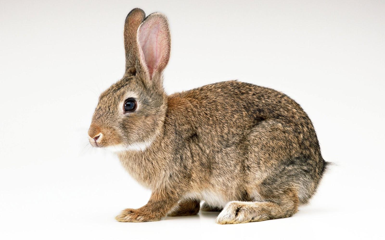 Ճագար: Ամեն ինչ ճագարների մասին