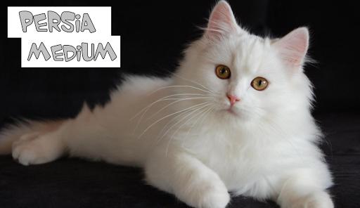 Harga Kucing Persia Dibawah 500rb