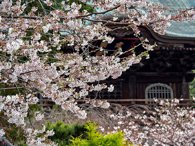 Somei-yoshino (Cerasus ×yedoensis) sakura flowers: Kencho-ji