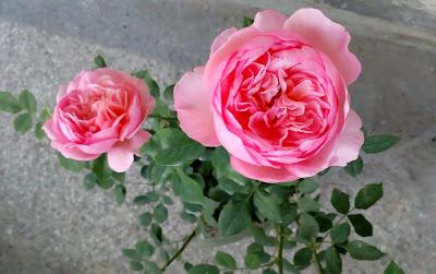 david asutin boscobel rose old bloom - pink with golden petals