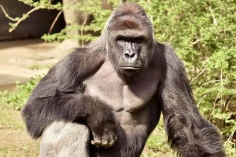 [Strange] Gorilla reportedly swallowed  6.8 millions in Kano