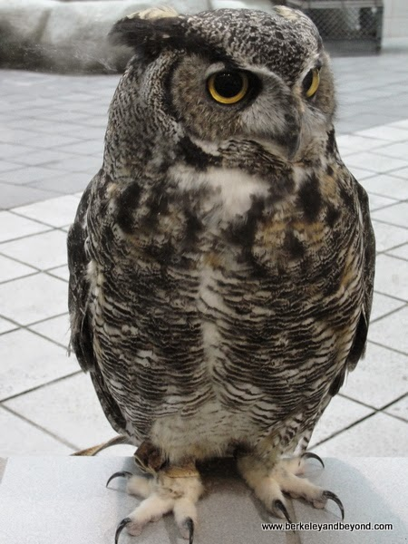 live owl at Lindsay Wildlife Museum in Walnut Creek, California