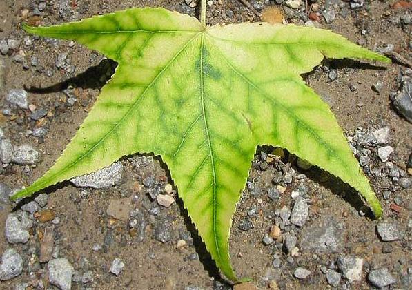 wirusy roślin chloroza