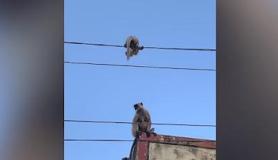 Induk monyet selamatkan anaknya.