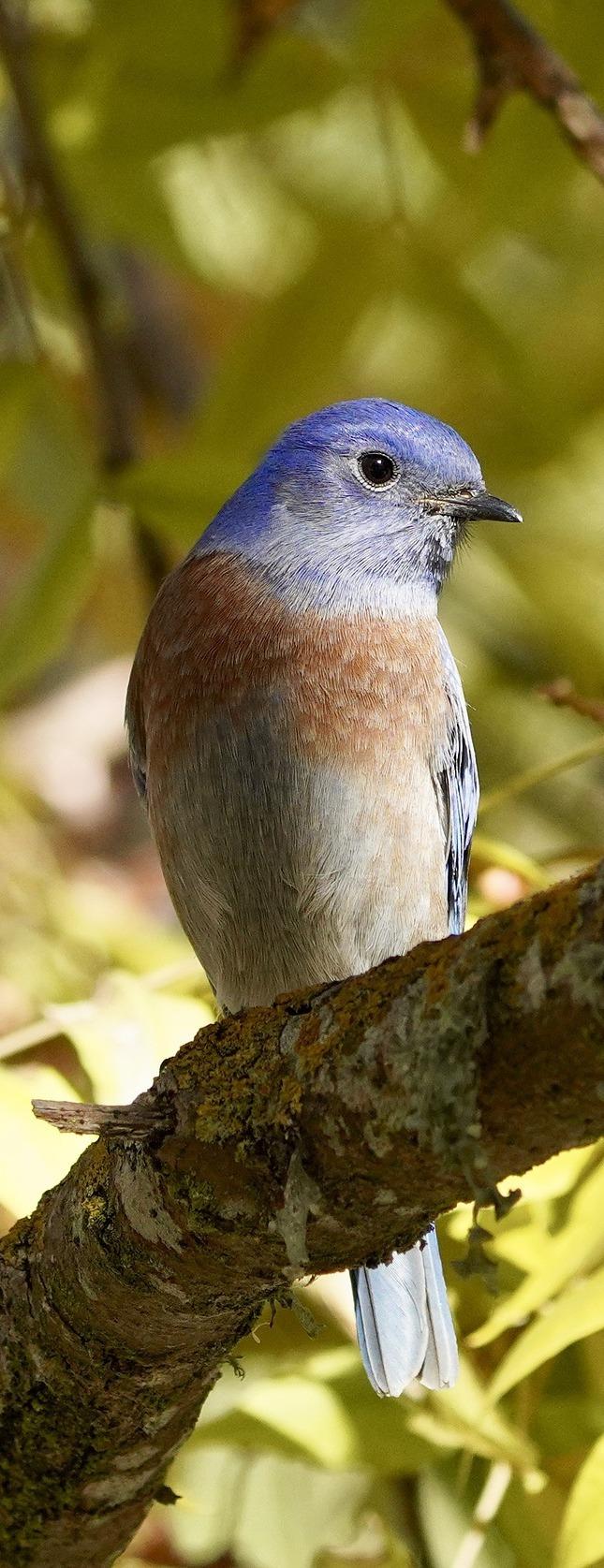 Lovely bluebird.