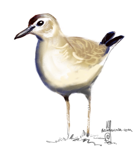 Mountain plover bird painting by Ulf Artmagenta