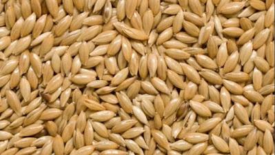 biji benih tanaman kenari seed