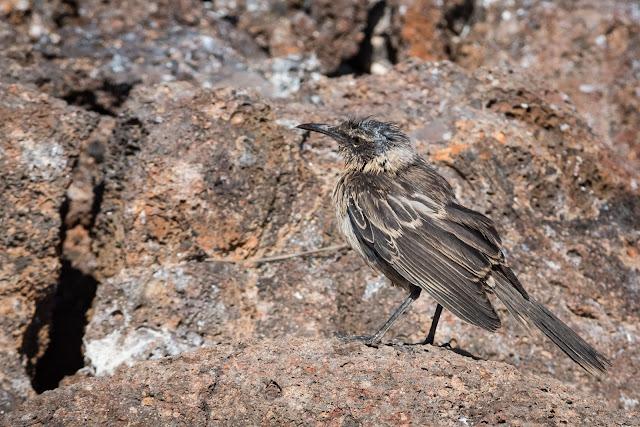 Galápagos Mockingbird, Genovesa Island