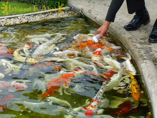 Feeding Koi fishes in Wat Rong Khun, Chiang Rai, North Thailand