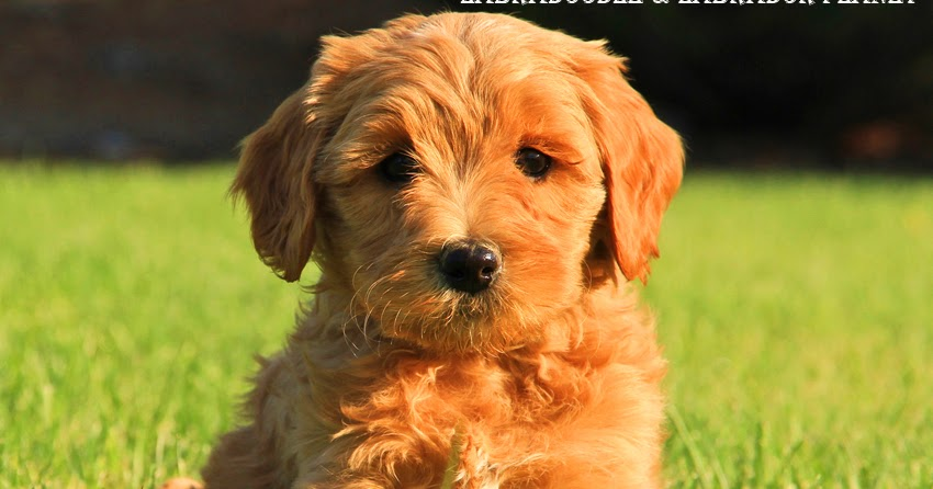 Labradoodle Among Other Dog Breeds Are Available For Sale in This Dog Shop House