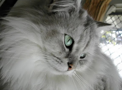 Sejarah Kucing Tiffanie