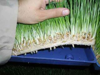 مشروع استنبات الشعير بدون تربة