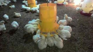 Cara Memberi Pakan Ayam Broiler Terbaru