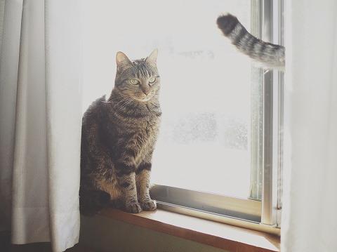 窓辺に佇むキジトラ猫