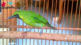 Ciri-ciri burung cucak ijo mini