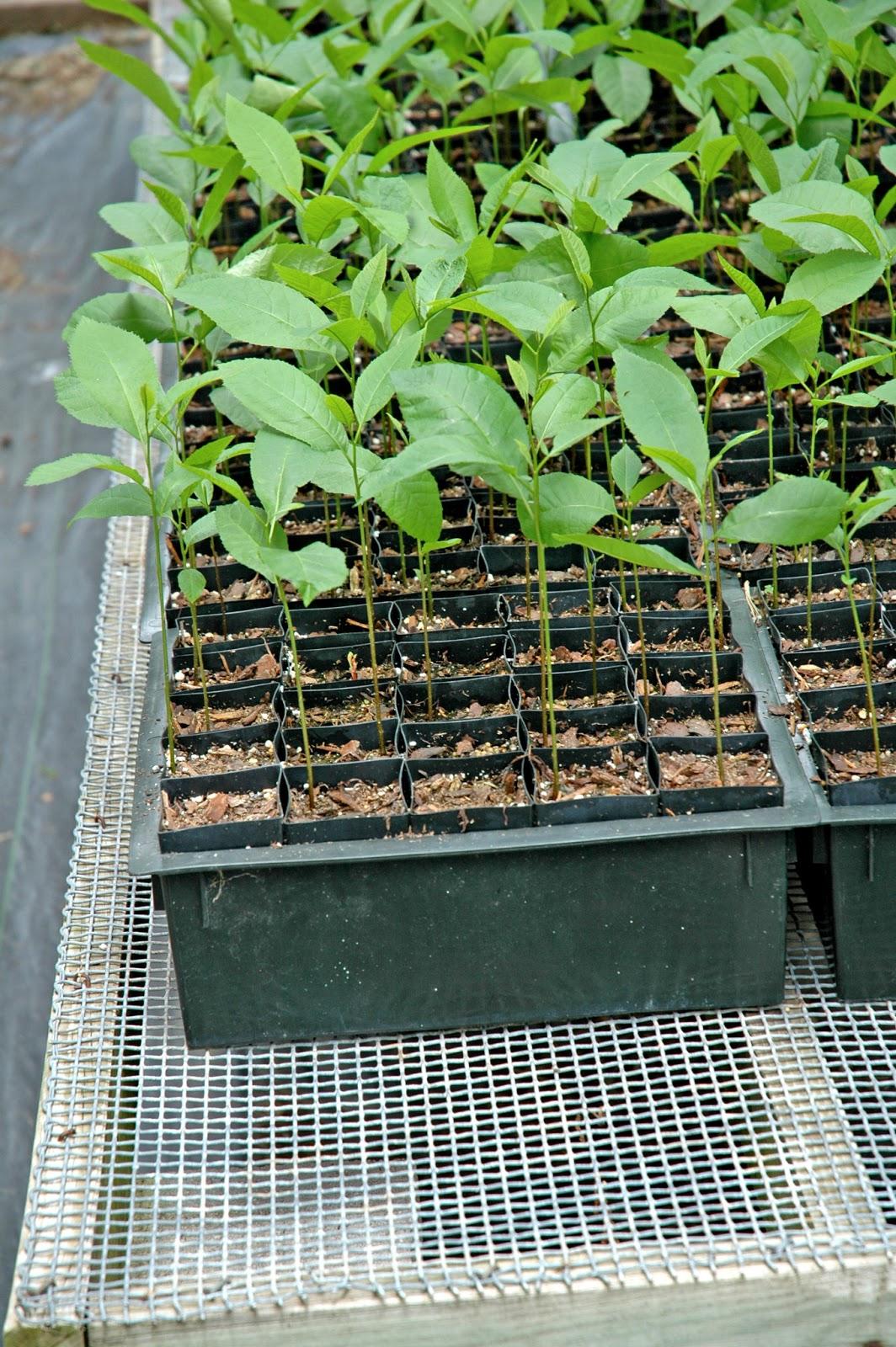 Northern Pecans Growing Pecan Seedlings In Containers